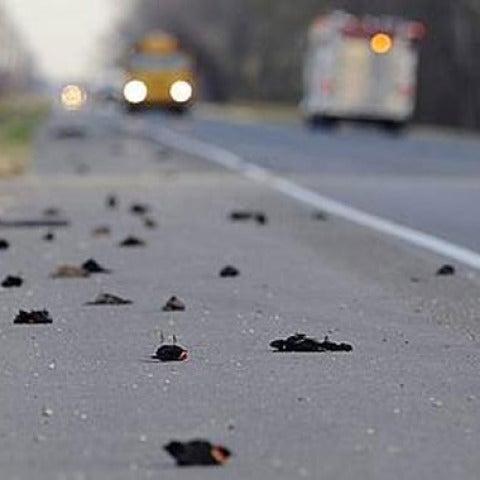 500 pájaros más contra el suelo (5-1-2011)