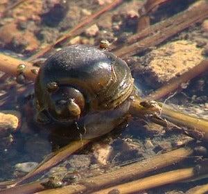 Una plaga de 'caracol manzana' amenaza los arrozales del Ebro