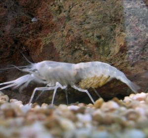 Crustáceo blanco o traslúcido encontrado en una cueva de la Galilea