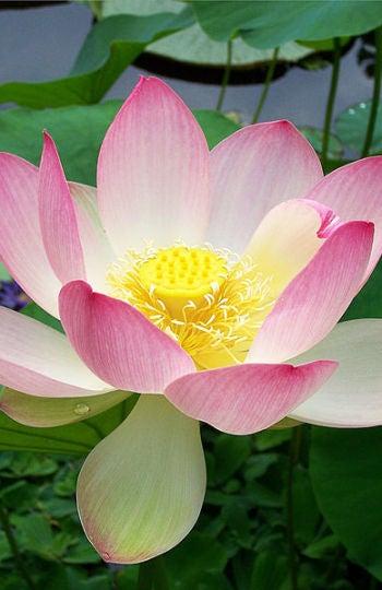 Flor de loto, un refugio nocturno para escarabajos frioleros