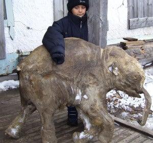Lyuba, cría de mamut