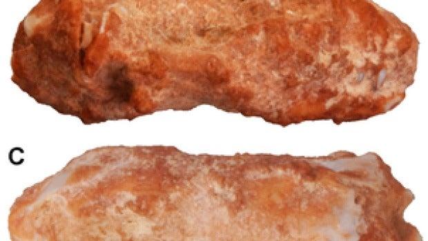 Cráneo fósil de lagartija gusano del mioceno medio