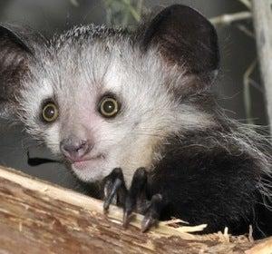 Lemur Elephaba