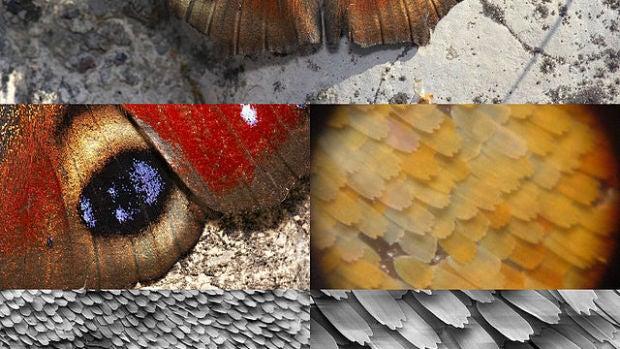 La ornamentación microscópica de las escamas de las alas es la responsable de los brillos de las alas de esta mariposa