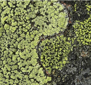 Líquen Rhizocarpon geographicum