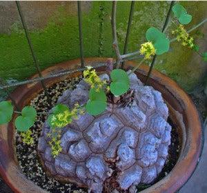 Flores con forma de piedras