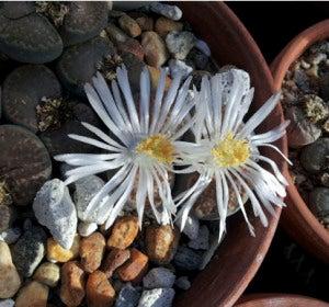 Flores forma de piedras