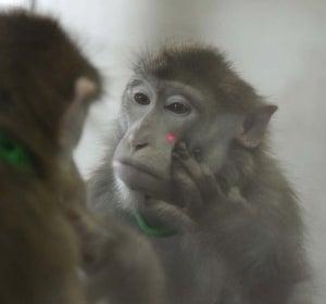 Un chimpancé reconociéndose a si mismo