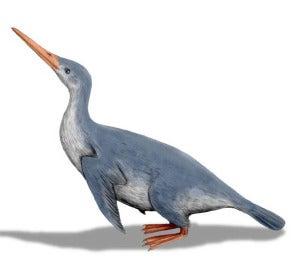 Waimanu, el fósil de pingüino más antiguo