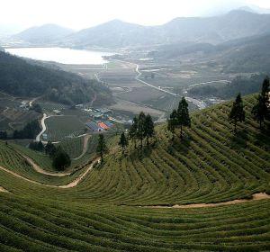 Té cultivado en terrazas en Corea del Sur