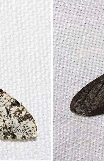 La mariposa del abedul cambia sus pigmentos para adaptarse a un medio industrial