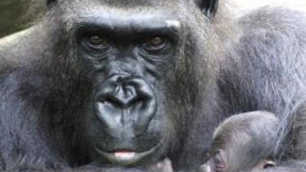 Nacen dos crías de gorila en el Zoo de Barcelona