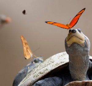 ¿Sabías que las mariposas beben de las lágrimas de las tortugas?