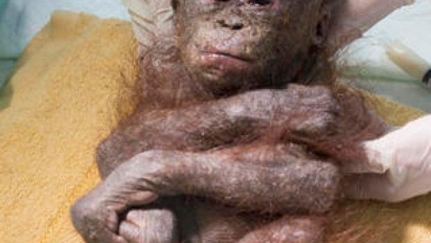 Gito, el bebé orangután rescatado