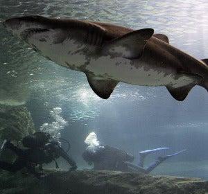 Inmersión entre tiburones en Roquetas de Mar (Almería)