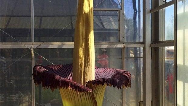 Flor cadáver en Australia