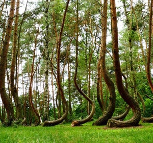 Bosque Curvado (Polonia).