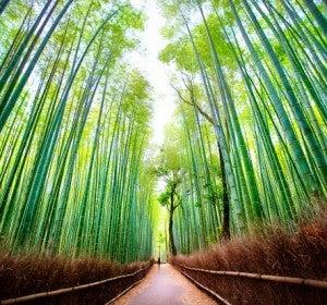 Bosque de bambú de Sagano