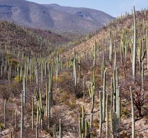 Cactus de Tehuacán-Cuicatlán