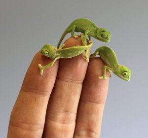 Camaleones pequeños