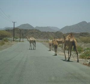 camellos de Emiratos Árabes