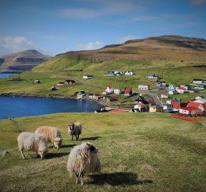 En Feroe hay más ovejas que humanos