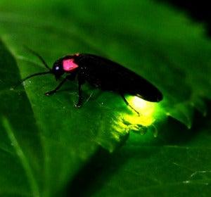 Así son las luciérnagas mexicanas