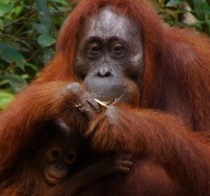Orangután del Parque Nacional Tanjung Puting