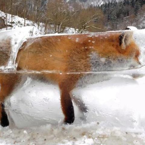 Un zorro congelado en un bloque de hielo