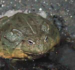 El comercio de rana toro expande el hongo