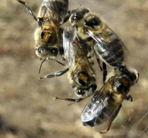 Varias abejas con microchips