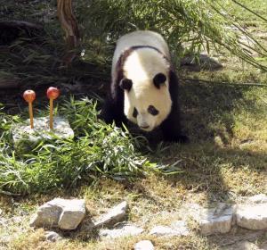 Un oso panda junto a su tarta de bambú