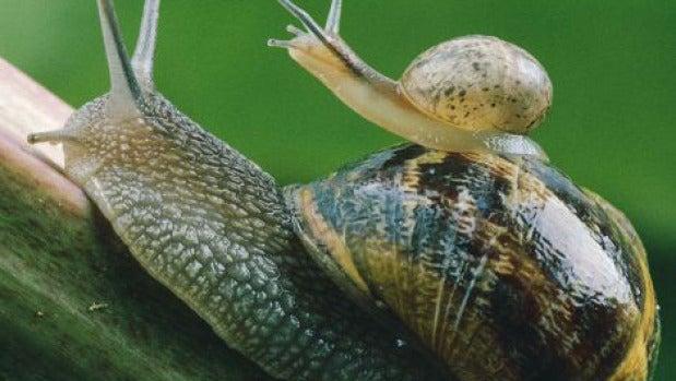 Una mamá caracol lleva a su cría a cuestas