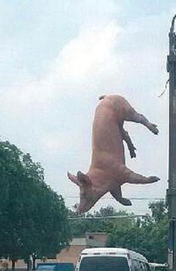 El cerdo saltando
