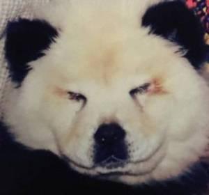 Uno de los perros chow chow del circo de Italia