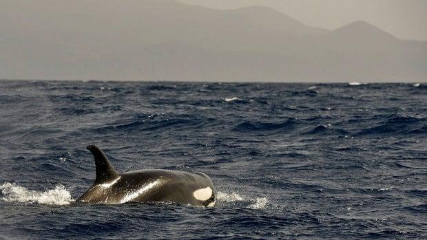 Imagen de una orca cerca de El Hierro