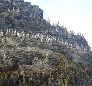 Pingüinos en Puñihuil
