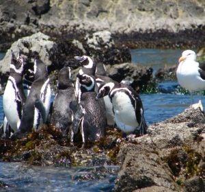 Pingüinos en los islotes de Puñihuil