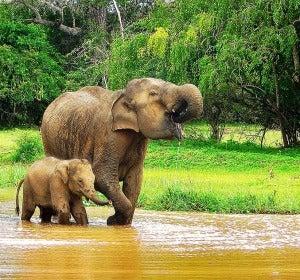 Elefante asiático en un Parque Natural de Sri Lanka