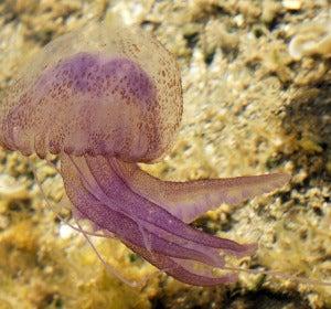 La medusa luminiscente (Pelagia Noctiluca)