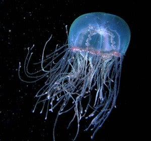 Medusa Olindia (Olindias phosphorica):