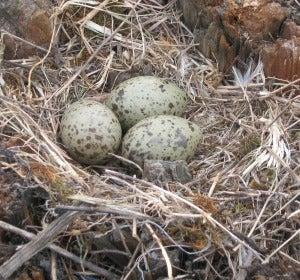 La razón por la que los pájaros cantan a sus huevos