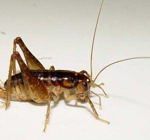 Descubren tres nuevas especies de insectos weta