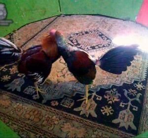 Multitudinaria pelea de gallos