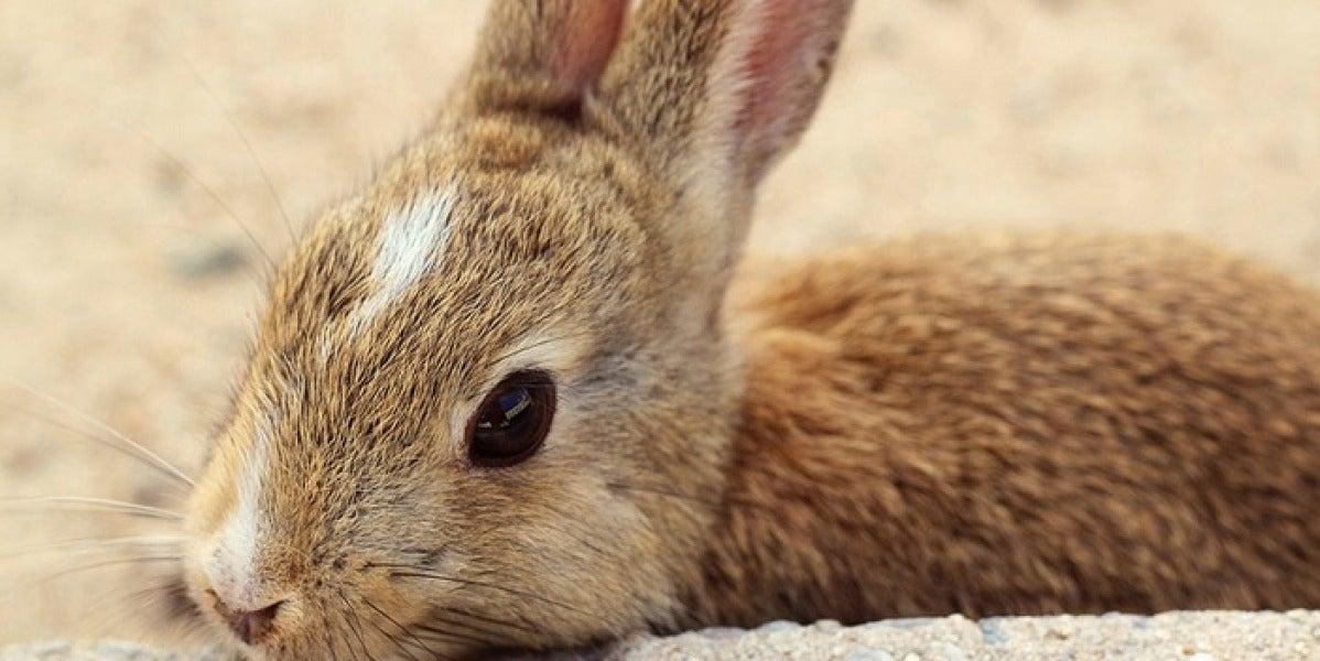 Uno de las docenas de conejos silvestres que habitan en  la isla