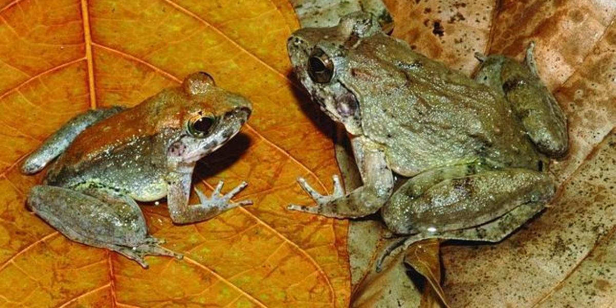 Descubren la primera rana que da a luz a renacuajos en vez de poner huevos