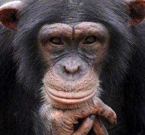 Un chimpancé en una imagen de archivo