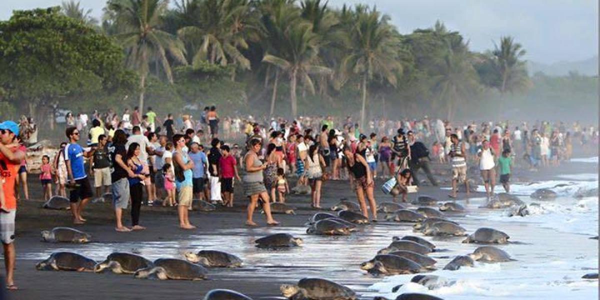Turistas impiden desovar a cientos de tortugas