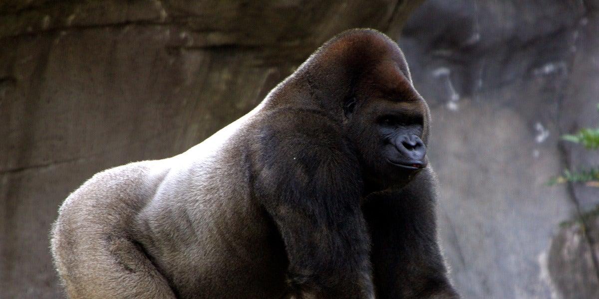El gorila Bantú
