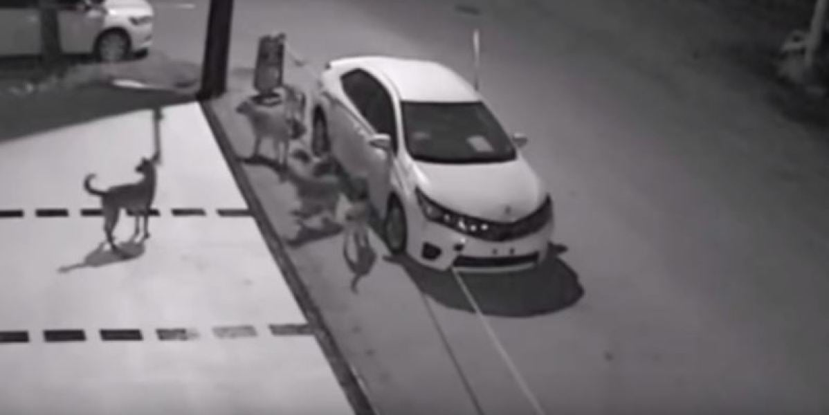 Una manada de perros callejeros destroza un coche en apenas unos minutos